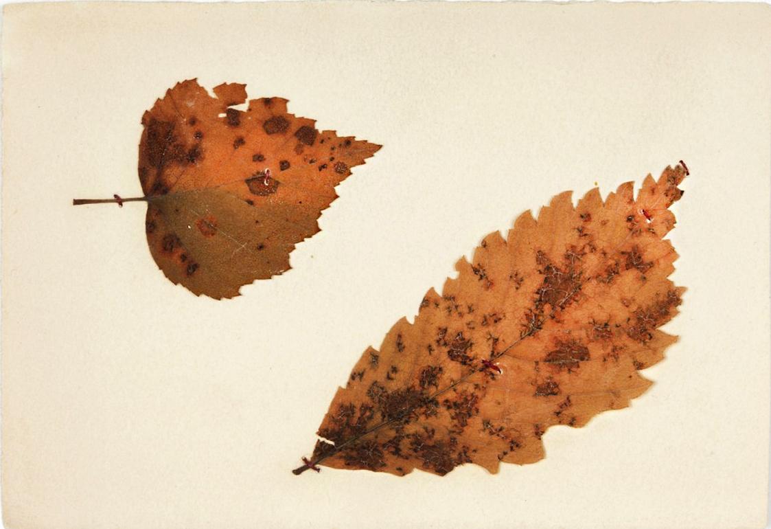 Листики ясеня и березы из гербария, собранного Андреем Белым